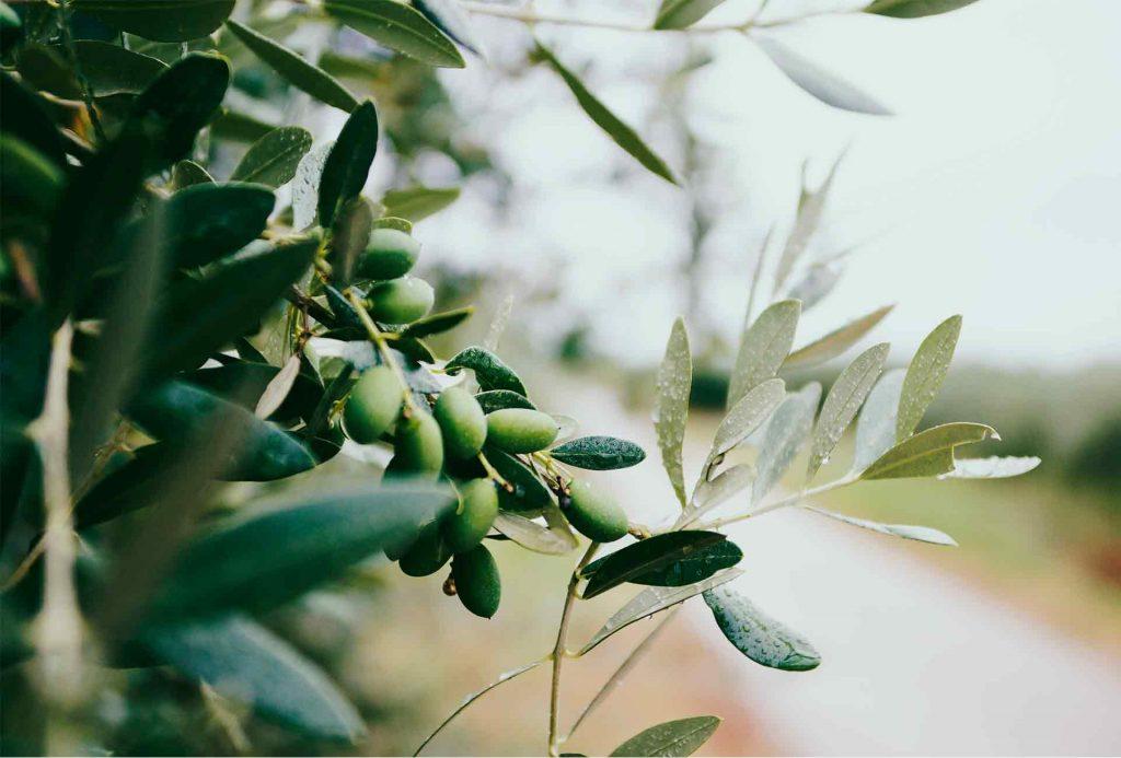 oilive tree